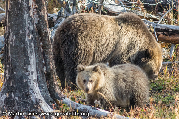 Momma Grizzly and Cub